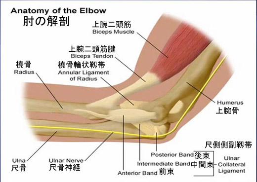 Anotomy of the elbow.jpg