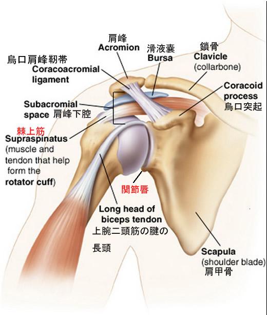 肩関節棘上筋関節唇2.jpg