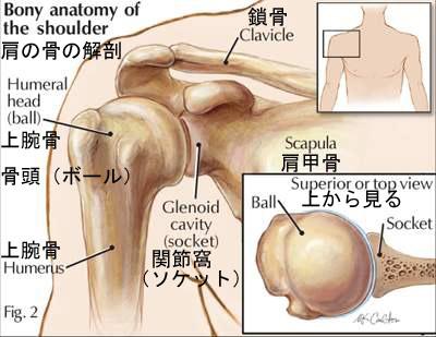 bony anatomy of the shoulder2.jpg