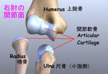elbow articular cartilage.jpg