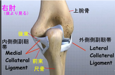 elbow collateral ligament back side.jpg